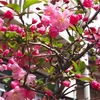 花海棠咲く