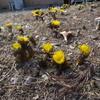 福寿草の花が開き始める