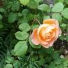 2021バラ開花
