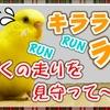 キララが走る、走る!