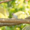 幸せの青い鳥ソライロフウキンチョウ