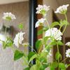 IKEAの花瓶にホワイトのランタナを♪ 夏の玄関をさわやかに♪