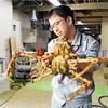 大阪湾で初、タカアシガニ発見…産卵で移動?