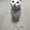 白猫オッドアイのシーツさんより、ハートをお届けします♡♥