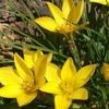 変わり者の黄色いハナニラ!? 早咲きのキバナハナニラ