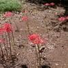 ヒガンバナの開花期が長期化