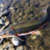 多摩川のマルタ釣りは都会で楽しむプチサーモンゲーム 釣り場・釣り方&道具やテクニック