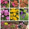最後の「コシヒカリ」の播種と田植えと庭の花と