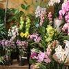店内の鉢花 充実してきました♪ シクラメンやシンビジューム!