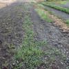 とうもろこし畝の除草