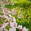 埼玉県さくら堤公園の去年の様子
