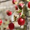 iPhoneXSとフォト画像②〜ポートレートモード・収穫間近のヒメリンゴ〜