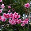 沖縄)八重岳の寒緋桜(カンヒザクラ)