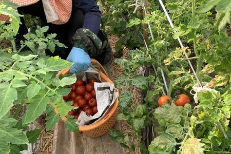 「高見農園」トマトの苗付けから収穫まで その4