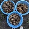 20'ジャガイモ収穫 腐ったジャヤガイモは歯槽膿漏の臭い ~Rotten potatoes smell like an alveolar abscess