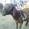 【ロバ旅終了】ロバを買おうとするも、売ってなくて羊を買う。が、羊も結局すぐに売ってしまった話【キルギス アニマルマーケット】