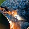1029【コサギが2羽追いかけっこ】カワセミの筆毛、マガモも渡ってきた。チョウゲンボウとカラスのモビング。ジョビ子にコガモ、オオカマキリが道路を横断 #今日撮り野鳥動画まとめ #身近な生き物語