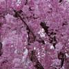 さくら三昧「枝垂れ桜」