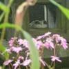突然の脇腹痛で予想外の展開に 画像はサザンカの花など