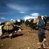 内蒙古からチベット7000キロの旅㉝ 死の川でヤクを追って