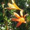キツネノカミソリの花盛り