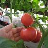 ベランダ菜園!トマト葉は森のにおい
