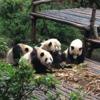 パンダをたくさん見たいなら中国成都まで行ってしまうのがおすすめ