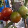 ミニトマトが色づいてきました