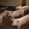 カンボジアの養豚市場!?日本人のOLが養豚!?
