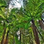 「レッドウッド森林公園(The Redwoods  Forest)」~シダの群生「ブラックツリーファーン」と「シルバーファーン」