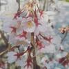 桜が咲きました