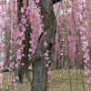 【京都】枝垂れ梅と椿のコラボレーション 城南宮