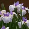 花菖蒲、紫陽花