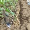 ネギの苗を植えたら溶け始めました