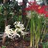白い彼岸花 & プレクトランサス モナラベンダー