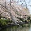 大宮公園界隈開花情報(2017.4.3現在)