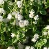 白い花とファンタジアミッキー