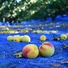 梅の収穫から梅干しが出来るまで