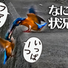 0929【子カワセミに襲われるカワセミ】カルガモ奇形、ホバリングチョウゲンボウ、スズメ大群水浴び、セキレイの捕食と縄張り争い、木蓮の実【 #今日撮り野鳥動画まとめ 】 #身近な生き物語
