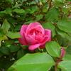 今年の一番花