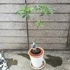 バオバブ盆栽化計画①~葉刈り~