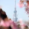 カワヅザクラ(河津桜)と東京スカイツリー
