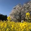 一心行の大桜 in 熊本 阿蘇