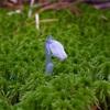 乗鞍の原生林で、幻の白い植物「銀竜草」を探しに。