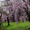 桜・・・古都雅