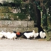 【奈良】鶏が放たれている七支刀で有名な石上神宮【天理市】