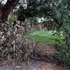 アカメヤナギ、折れた枝が枯れる