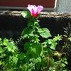 ソウタンの花 2015