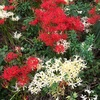 ヒガンバナの花たち