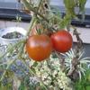 ド根性トマト